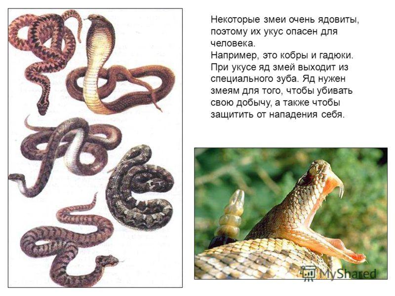 Некоторые змеи очень ядовиты, поэтому их укус опасен для человека. Например, это кобры и гадюки. При укусе яд змей выходит из специального зуба. Яд нужен змеям для того, чтобы убивать свою добычу, а также чтобы защитить от нападения себя. Некоторые з