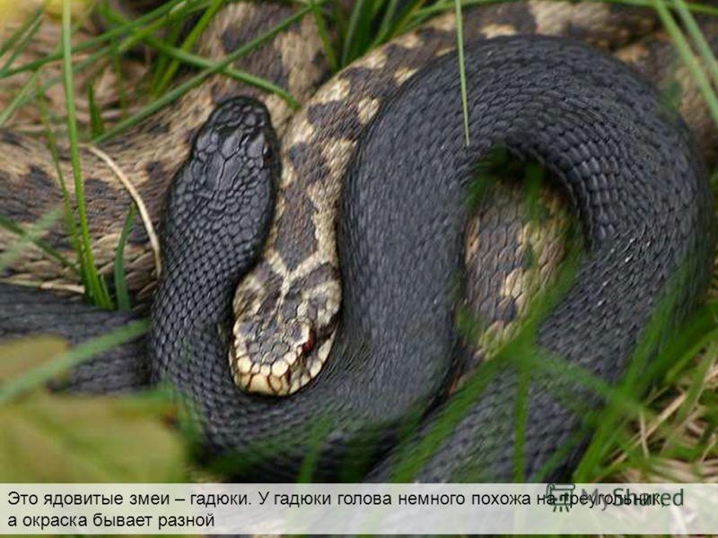 Это ядовитые змеи – гадюки. У гадюки голова немного похожа на треугольник, а окраска бывает разной Это ядовитые змеи – гадюки. У гадюки голова немного похожа на треугольник, а окраска бывает разной
