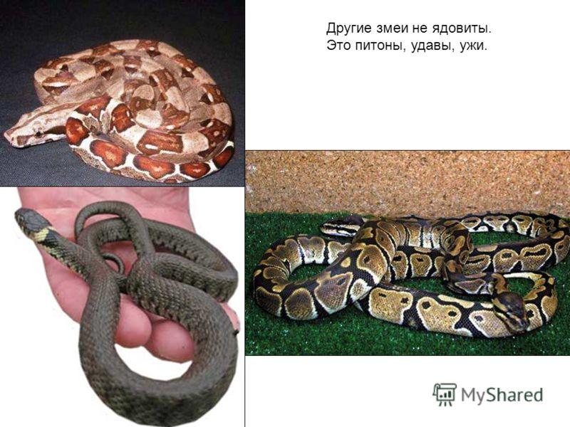 Другие змеи не ядовиты. Это питоны, удавы, ужи. Другие змеи не ядовиты. Это питоны, удавы, ужи.