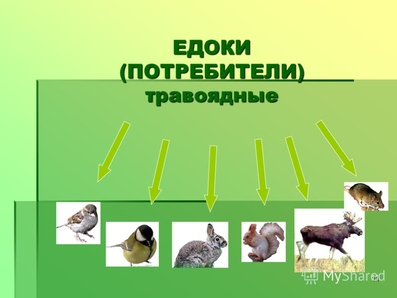 11 ЕДОКИ (ПОТРЕБИТЕЛИ) травоядные