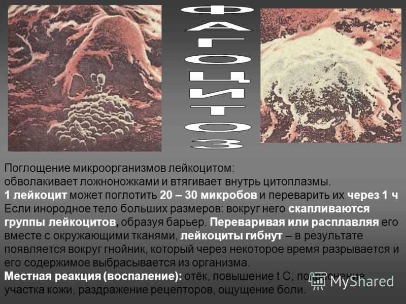 Поглощение микроорганизмов лейкоцитом: обволакивает ложноножками и втягивает внутрь цитоплазмы. 1 лейкоцит может поглотить 20 – 30 микробов и переварить их через 1 ч Если инородное тело больших размеров: вокруг него скапливаются группы лейкоцитов, об