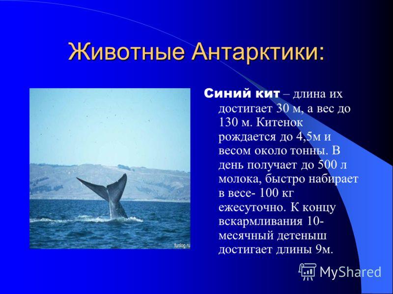 Животные Антарктики: Синий кит – длина их достигает 30 м, а вес до 130 м. Китенок рождается до 4,5м и весом около тонны. В день получает до 500 л молока, быстро набирает в весе- 100 кг ежесуточно. К концу вскармливания 10- месячный детеныш достигает