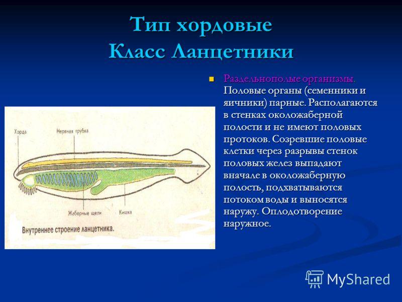 Тип хордовые Класс Ланцетники Раздельнополые организмы. Половые органы (семенники и яичники) парные. Располагаются в стенках околожаберной полости и не имеют половых протоков. Созревшие половые клетки через разрывы стенок половых желез выпадают внача