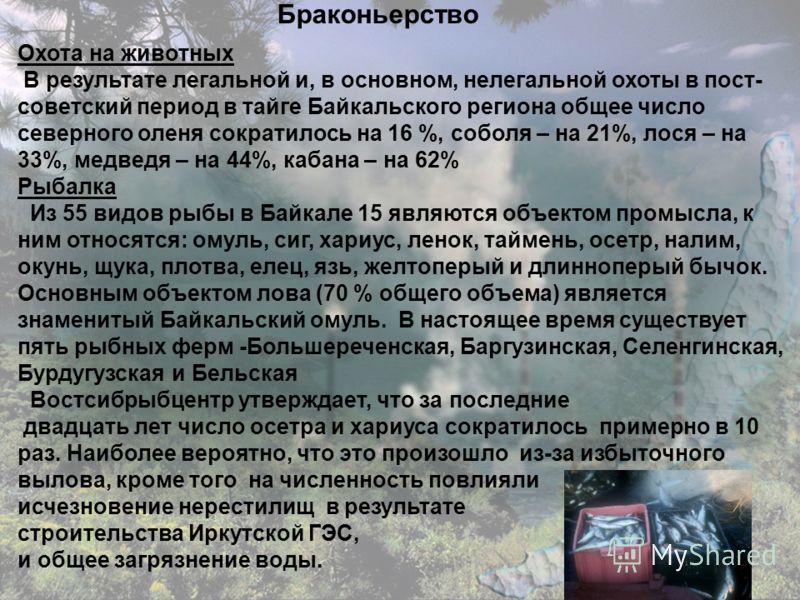 Браконьерство Охота на животных В результате легальной и, в основном, нелегальной охоты в пост- советский период в тайге Байкальского региона общее число северного оленя сократилось на 16 %, соболя – на 21%, лося – на 33%, медведя – на 44%, кабана –