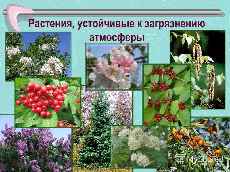 Растения, устойчивые к загрязнению атмосферы