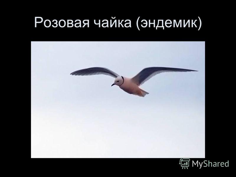 Розовая чайка (эндемик)