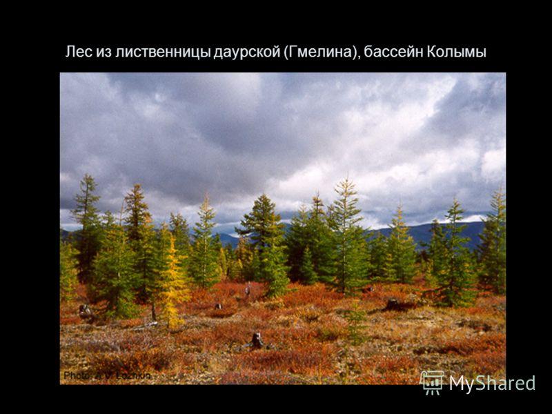 Лес из лиственницы даурской (Гмелина), бассейн Колымы