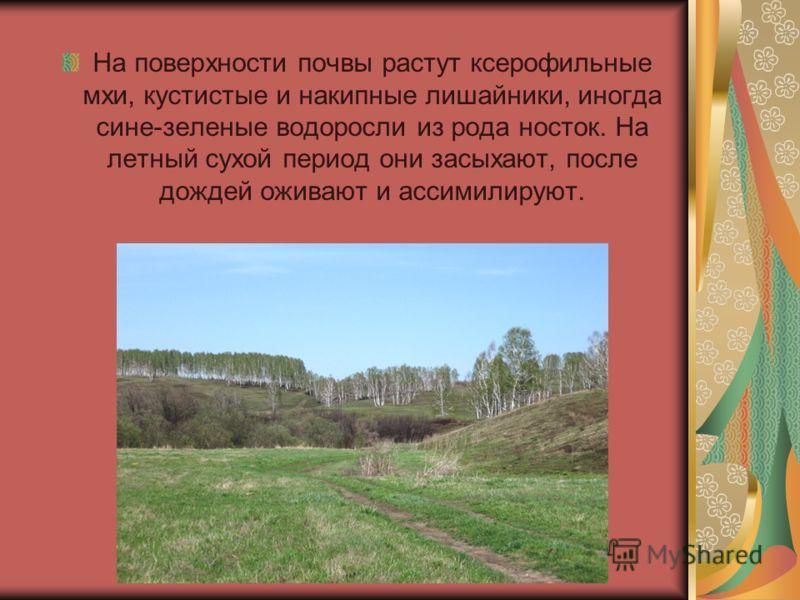 На поверхности почвы растут ксерофильные мхи, кустистые и накипные лишайники, иногда сине-зеленые водоросли из рода носток. На летный сухой период они засыхают, после дождей оживают и ассимилируют.