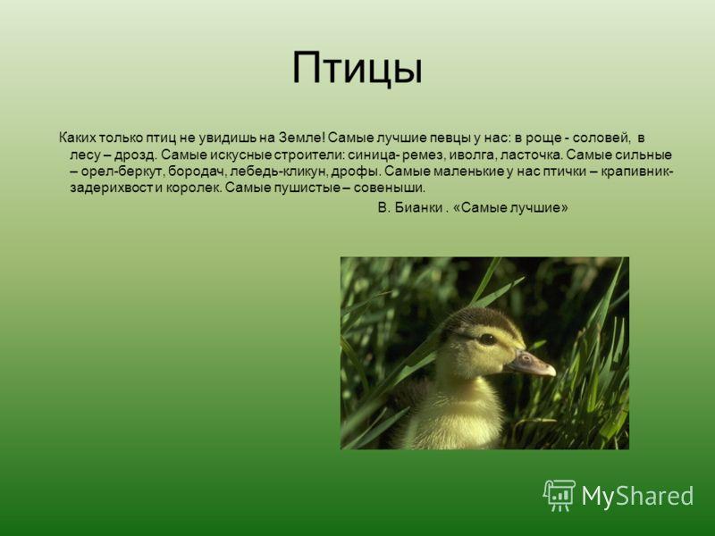 Птицы Каких только птиц не увидишь на Земле! Самые лучшие певцы у нас: в роще - соловей, в лесу – дрозд. Самые искусные строители: синица- ремез, иволга, ласточка. Самые сильные – орел-беркут, бородач, лебедь-кликун, дрофы. Самые маленькие у нас птич