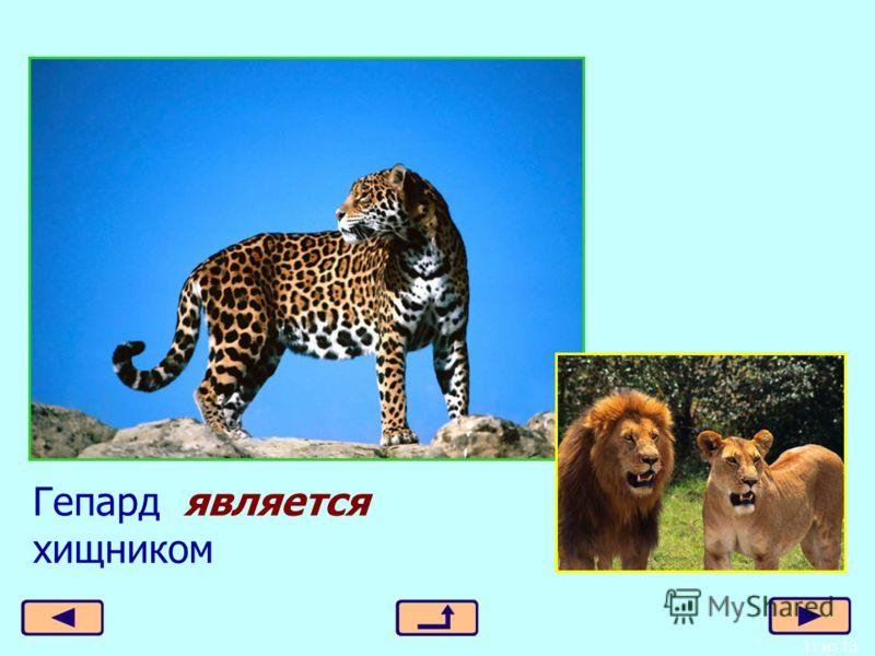 11 из 13 Гепард является хищником