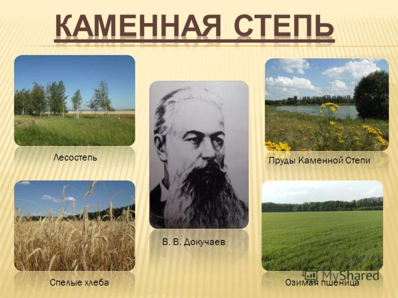 В. В. Докучаев Лесостепь Пруды Каменной Степи Спелые хлебаОзимая пшеница
