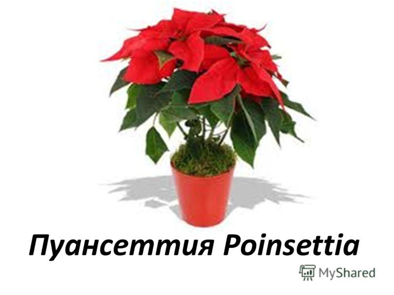 Пуансеттия Poinsettia
