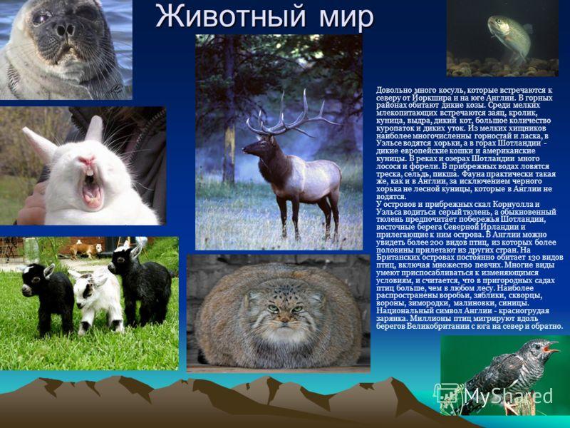 Животный мир Довольно много косуль, которые встречаются к северу от Йоркшира и на юге Англии. В горных районах обитают дикие козы. Среди мелких млекопитающих встречаются заяц, кролик, куница, выдра, дикий кот, большое количество куропаток и диких уто