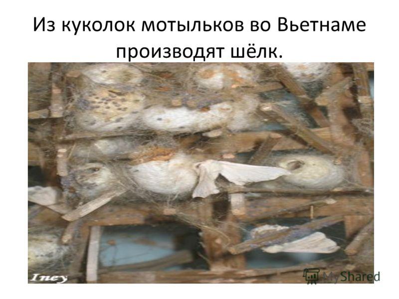 Из куколок мотыльков во Вьетнаме производят шёлк.
