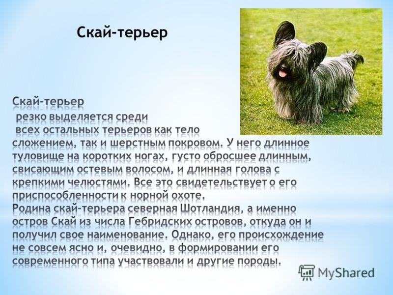 Русский той-терьер