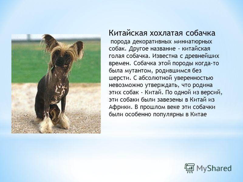 Собаки этой породы переносят мороз до -60. Допускается любой окрас от волчьего серого до серебристо-серого и от светло-песочного до черного с белыми пятнами. Сибирский хаски, порода рабочих собак. Сибирский хаски был выведен в Сибири, в 1909 г. его з