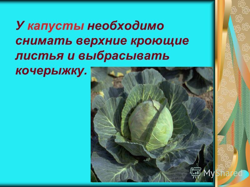 13 У капусты необходимо снимать верхние кроющие листья и выбрасывать кочерыжку.