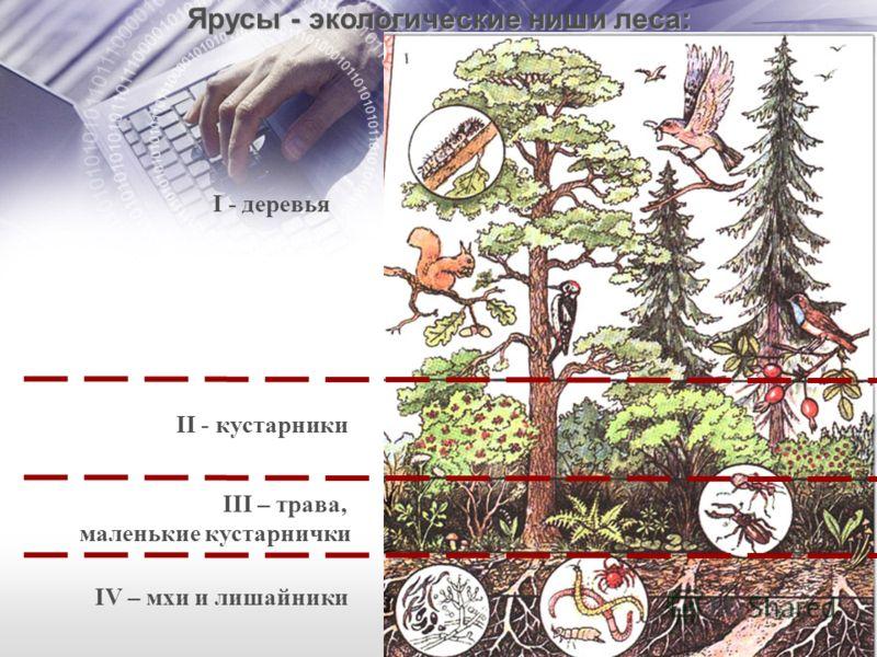 II - кустарники III – трава, маленькие кустарнички IV – мхи и лишайники I - деревья Ярусы - экологические ниши леса:
