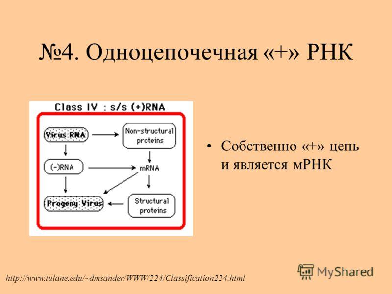 4. Одноцепочечная «+» РНК Собственно «+» цепь и является мРНК http://www.tulane.edu/~dmsander/WWW/224/Classification224.html