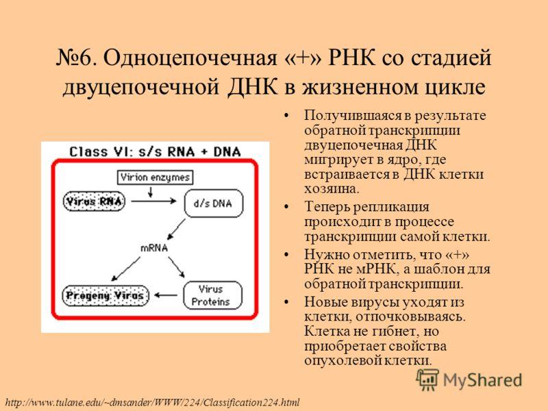 6. Одноцепочечная «+» РНК со стадией двуцепочечной ДНК в жизненном цикле Получившаяся в результате обратной транскрипции двуцепочечная ДНК мигрирует в ядро, где встраивается в ДНК клетки хозяина. Теперь репликация происходит в процессе транскрипции с