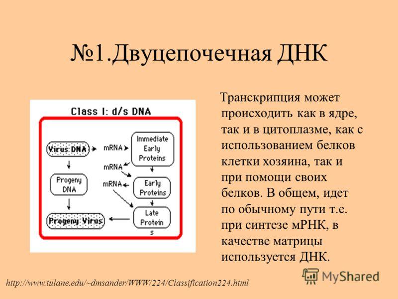 1.Двуцепочечная ДНК Транскрипция может происходить как в ядре, так и в цитоплазме, как с использованием белков клетки хозяина, так и при помощи своих белков. В общем, идет по обычному пути т.е. при синтезе мРНК, в качестве матрицы используется ДНК. h