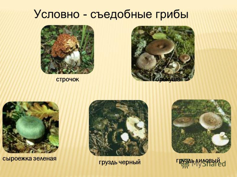 грибы условно съедобные фото и описание