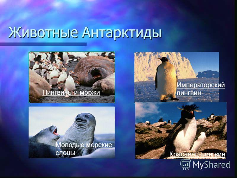 Животные Антарктиды Императорский пингвин Красавец-пингвин Молодые морские слоны Пингвины и моржи
