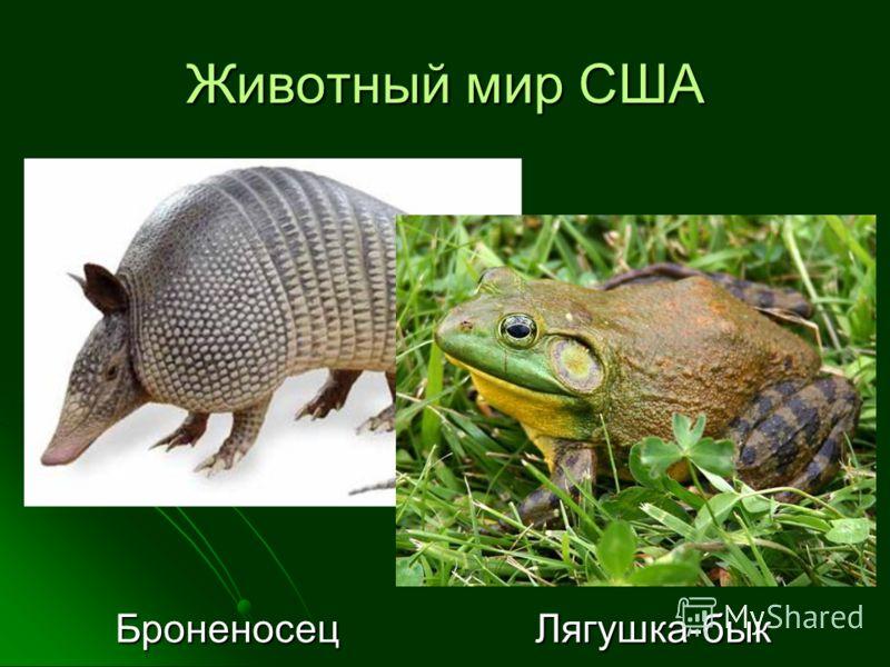 Животный мир США Броненосец Лягушка-бык Броненосец Лягушка-бык