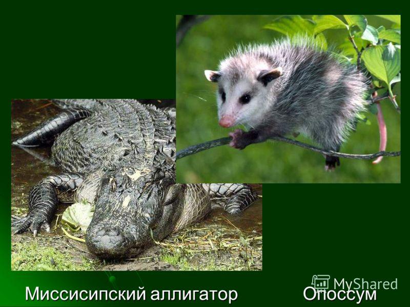 Миссисипский аллигатор Опоссум