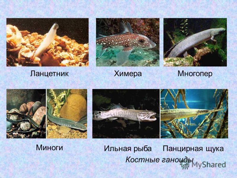 ХимераМногопер Ильная рыбаПанцирная щука Костные ганоиды Миноги Ланцетник