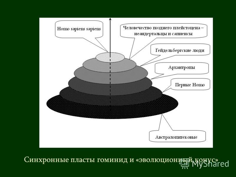 Синхронные пласты гоминид и «эволюционный конус»
