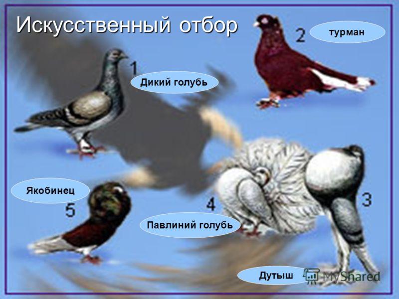 Дикий голубь Якобинец Дутыш Павлиний голубь турман Искусственный отбор