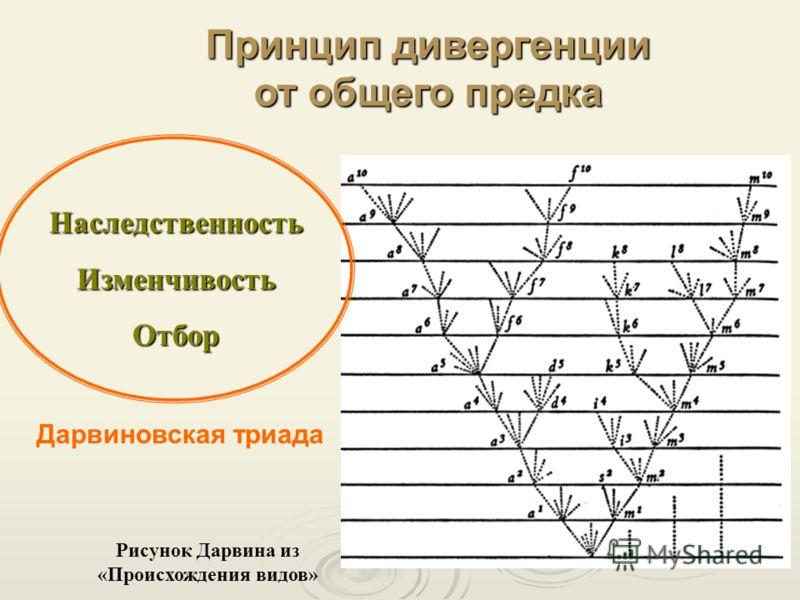 Рисунок Дарвина из «Происхождения видов» НаследственностьИзменчивостьОтбор Принцип дивергенции от общего предка Дарвиновская триада
