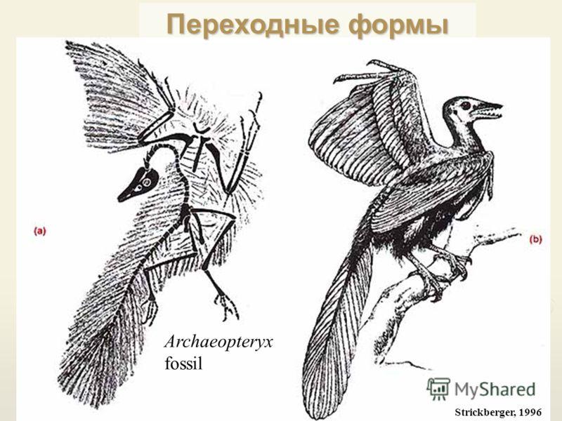 Strickberger, 1996 Archaeopteryx fossil Переходные формы