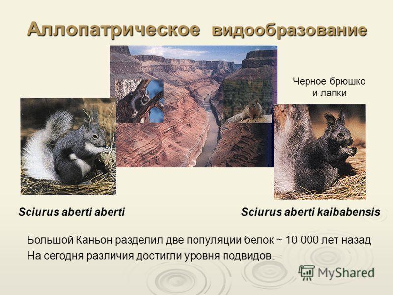 Аллопатрическое видообразование Большой Каньон разделил две популяции белок ~ 10 000 лет назад Sciurus aberti abertiSciurus aberti kaibabensis На сегодня различия достигли уровня подвидов. Черное брюшко и лапки