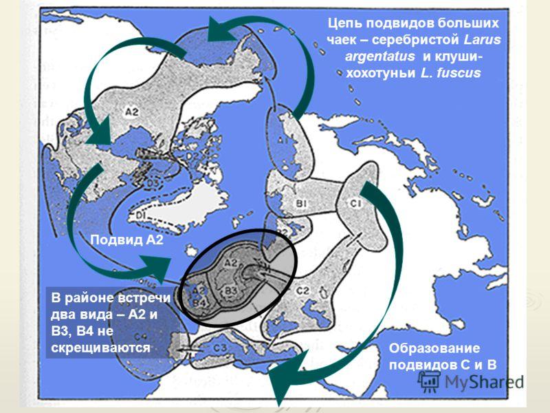 Цепь подвидов больших чаек – серебристой Larus argentatus и клуши- хохотуньи L. fuscus Образование подвидов С и В Подвид А2 В районе встречи два вида – А2 и В3, В4 не скрещиваются