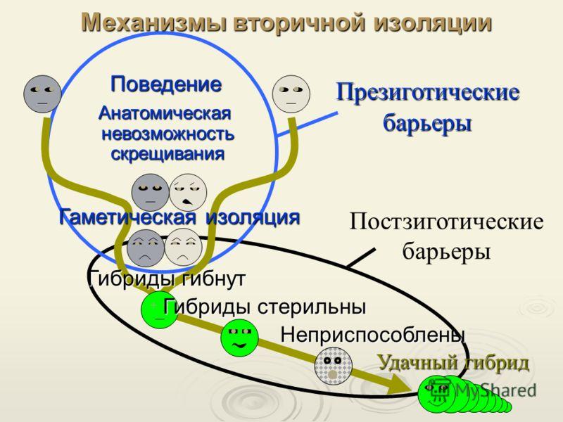 Неприспособлены Механизмы вторичной изоляции Поведение Анатомическая невозможность скрещивания Анатомическая невозможность скрещивания Гаметическая изоляция Гибриды гибнут ++ Удачный гибрид Презиготические барьеры Постзиготические барьеры Гибриды сте