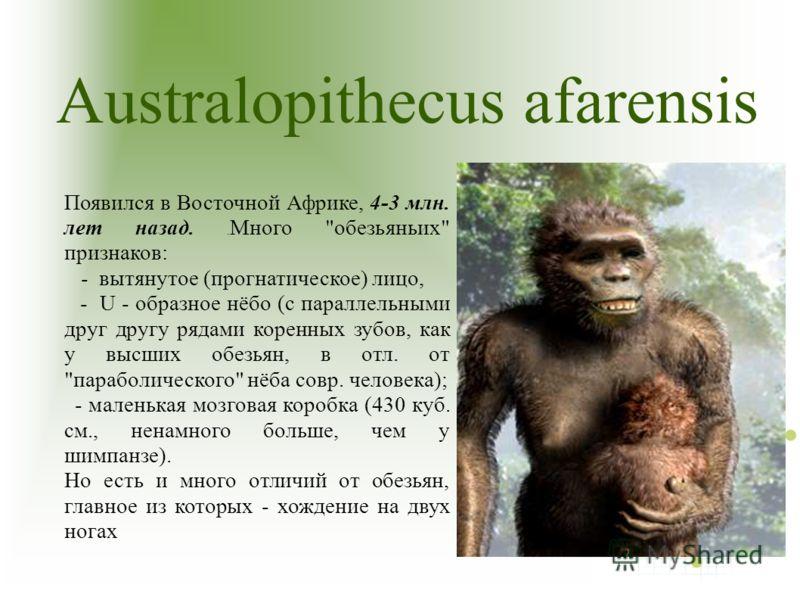 Australopithecus afarensis Появился в Восточной Африке, 4-3 млн. лет назад.. Много