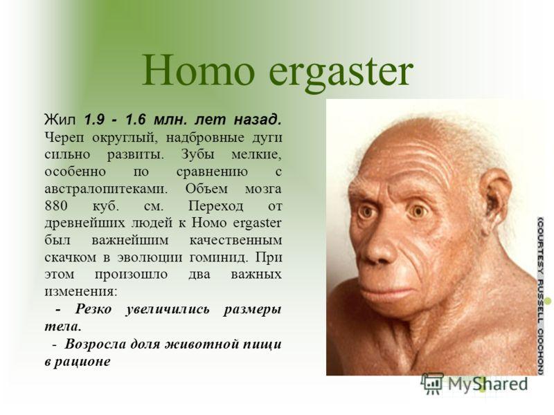 Homo ergaster Жил 1.9 - 1.6 млн. лет назад. Череп округлый, надбровные дуги сильно развиты. Зубы мелкие, особенно по сравнению с австралопитеками. Объем мозга 880 куб. см. Переход от древнейших людей к Hомо ergaster был важнейшим качественным скачком