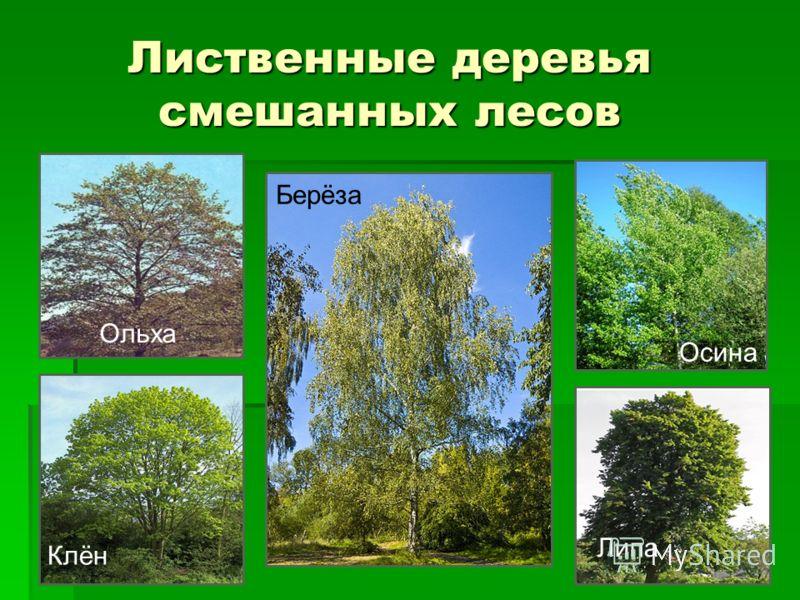 Что растет в смешанном лесе россии