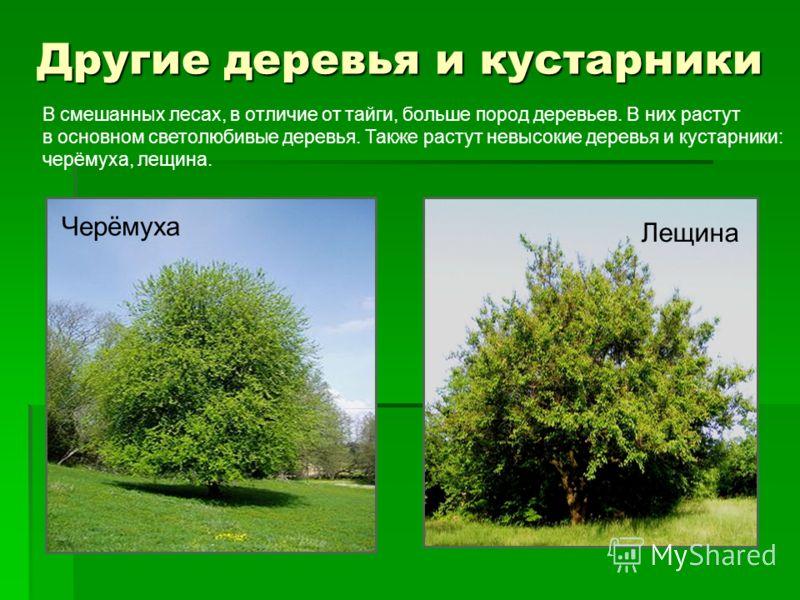 Другие деревья и кустарники Черёмуха Лещина В смешанных лесах, в отличие от тайги, больше пород деревьев. В них растут в основном светолюбивые деревья. Также растут невысокие деревья и кустарники: черёмуха, лещина.