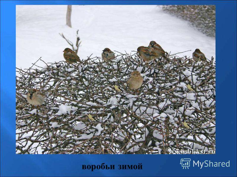 воробьи зимой Воробьи зимой