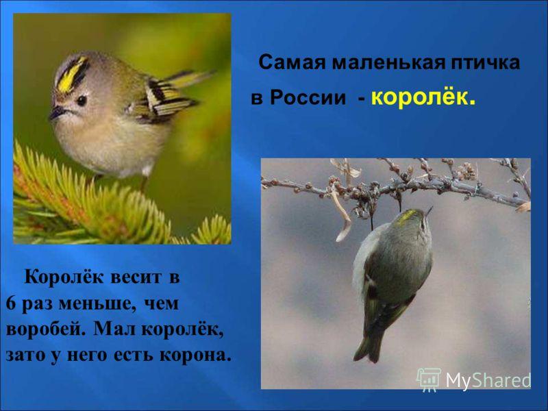 Самая маленькая птичка в России - королёк. Королёк весит в 6 раз меньше, чем воробей. Мал королёк, зато у него есть корона. Самая маленькая птичка в россии - королёк. Королёк весит в 6 раз меньше, чем воробей. Мал королёк, зато у него есть корона.