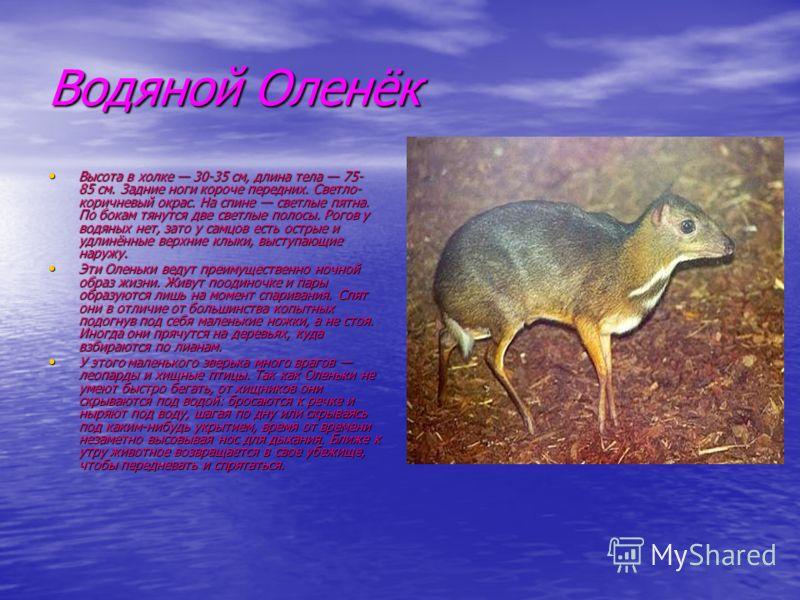 Водяной Оленёк Высота в холке 30-35 см, длина тела 75- 85 см. Задние ноги короче передних. Светло- коричневый окрас. На спине светлые пятна. По бокам тянутся две светлые полосы. Рогов у водяных нет, зато у самцов есть острые и удлинённые верхние клык