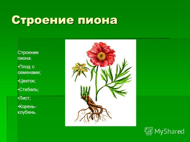 11 Строение пиона Строение пиона: Плод с семенами; Цветок; Стебель; Лист; Корень- клубень.