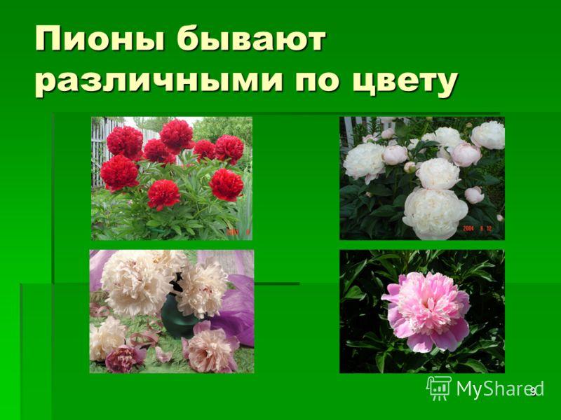 9 Пионы бывают различными по цвету