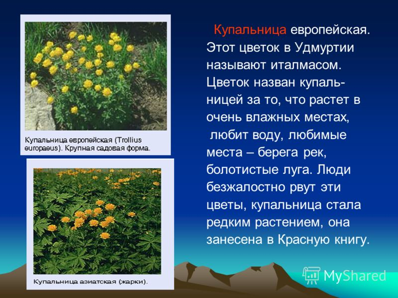 Купальница европейская. Этот цветок в Удмуртии называют италмасом. Цветок назван купаль- ницей за то, что растет в очень влажных местах, любит воду, любимые места – берега рек, болотистые луга. Люди безжалостно рвут эти цветы, купальница стала редким