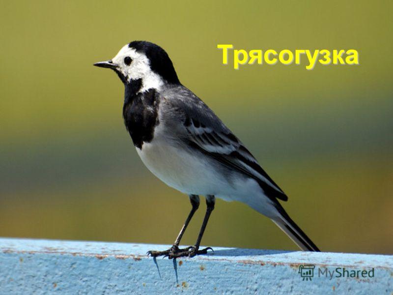 Трясогузка