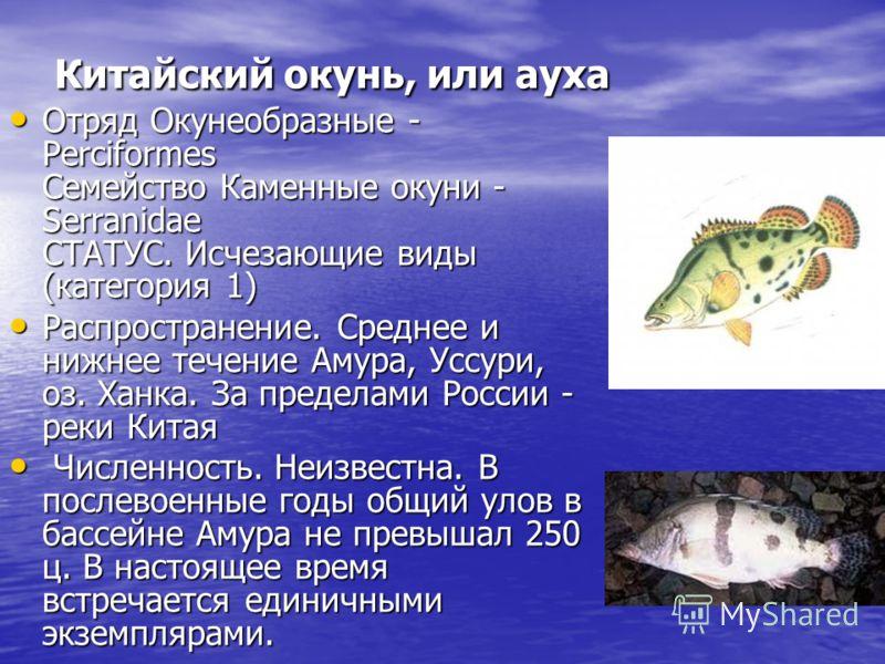 Китайский окунь, или ауха Отряд Окунеобразные - Perciformes Семейство Каменные окуни - Serranidae СТАТУС. Исчезающие виды (категория 1) Отряд Окунеобразные - Perciformes Семейство Каменные окуни - Serranidae СТАТУС. Исчезающие виды (категория 1) Расп
