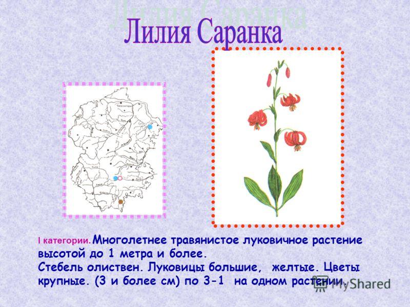 I категории. Многолетнее травянистое луковичное растение высотой до 1 метра и более. Стебель олиствен. Луковицы большие, желтые. Цветы крупные. (3 и более см) по 3-1 на одном растении.